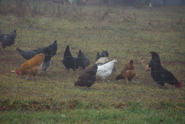 Foggy chicken breakdown, part 1